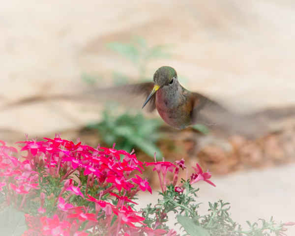 hummingbird in front of pink flowers