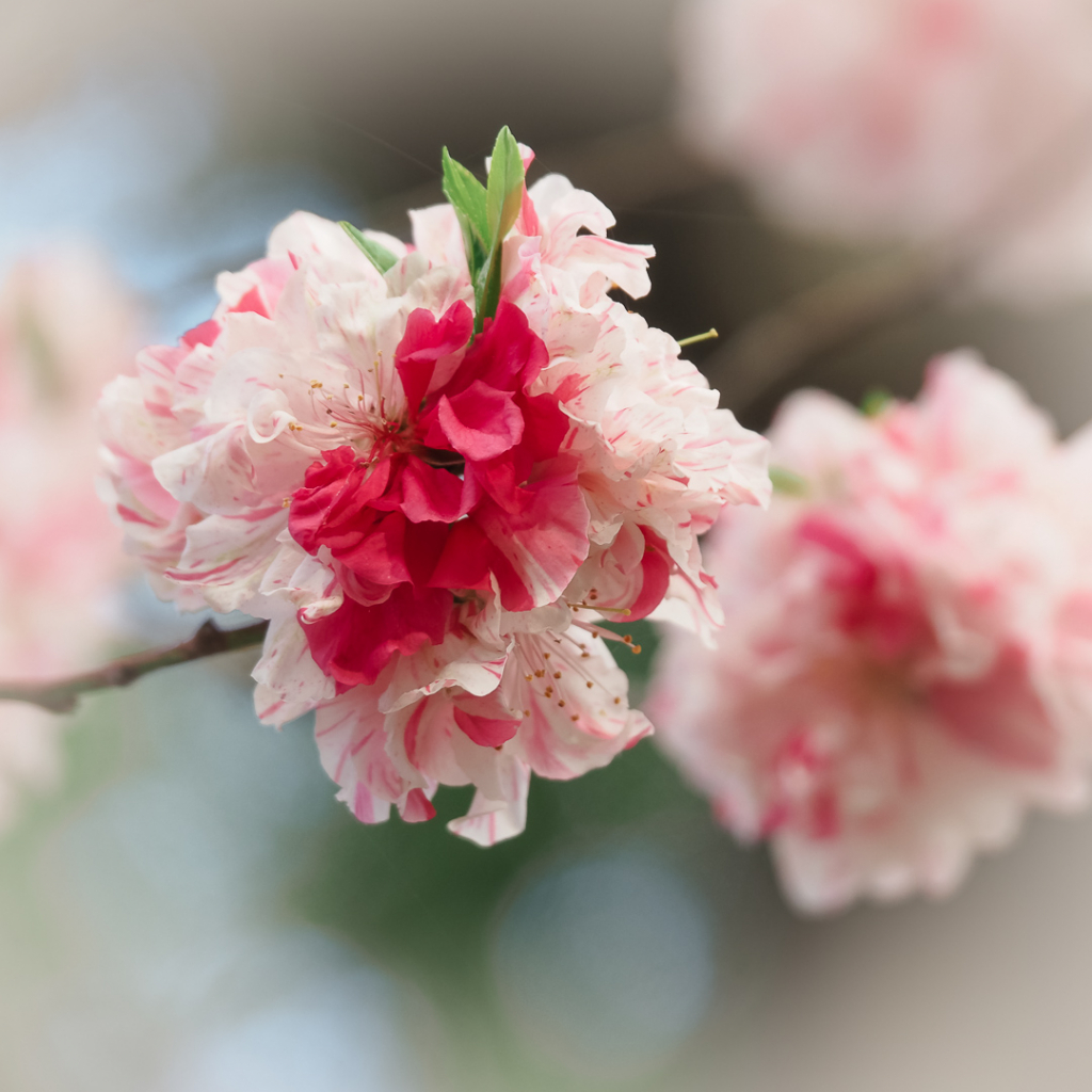 pinkish flowers
